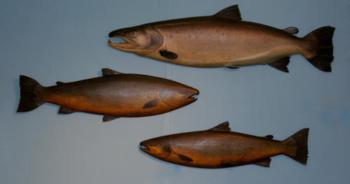 The Finest pair of Carved wooden and painted trophy Salmon.